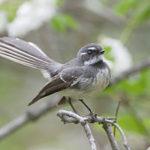 rhipidura-fuliginosa-gray-fantail-kind